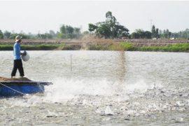 Phương pháp xử lý nước thảo ao nuôi cá tra, cá basa
