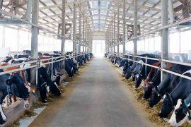 Hệ thống xử lý nước thải chăn nuôi bò