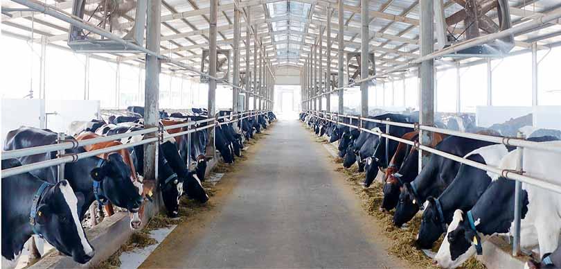 Xử lý nước thải chăn nuôi bò